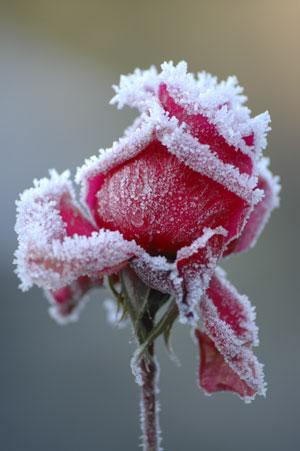 укрытие растений зимой